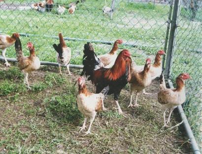 Gratis grandes fotos de gallos negros